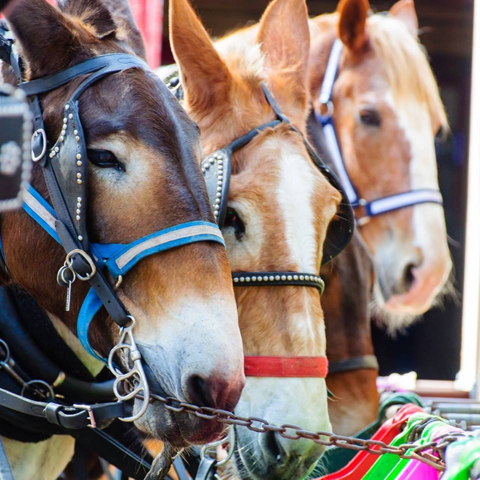 Carriage Horses in Charleston
